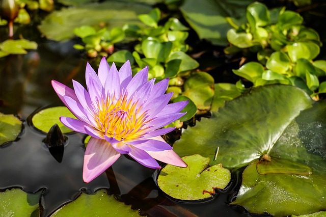 water-lily-1857381_640.jpg